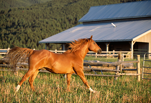 HOR 01 DB0023 01 © Kimball Stock Profile Of Chestnut Quarter Horse Cantering In Pasture Near Fence And Barn