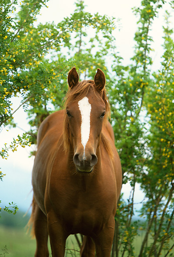 HOR 01 DB0024 01 © Kimball Stock Head On Shot Of Chestnut Quarter Horse Mare Standing By Tree