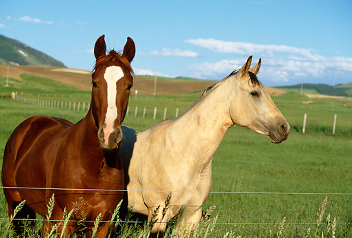 HOR 01 DB0026 01 © Kimball Stock Chestnut And Buckskin Quarter Horses Standing In Pasture At Fence