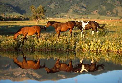 HOR 01 DB0029 01 © Kimball Stock Profile Of Three Quarter Horses Walking Along Edge Of Pond