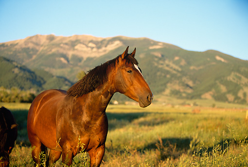 HOR 01 DB0030 01 © Kimball Stock Bay Quarter Horse Standing In Pasture With Mountains