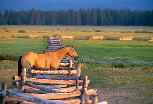 HOR 01 DB0033 01 © Kimball Stock Quarter Horse Standing At Fence In Pasture