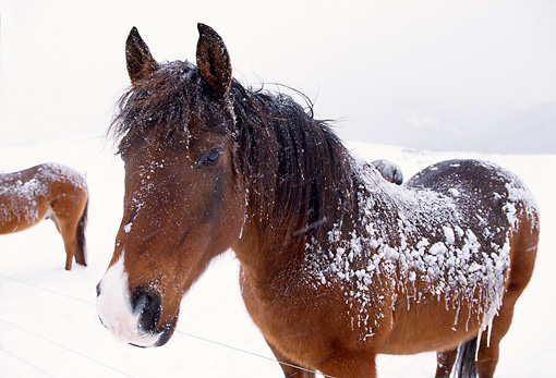 HOR 01 DB0035 01 © Kimball Stock Bay Quarter Horse Standing In Snowstorm
