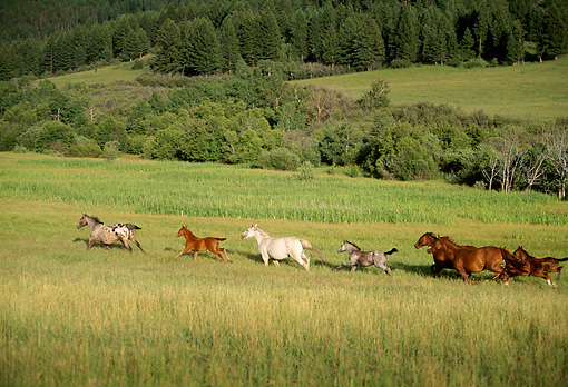 HOR 01 DB0036 01 © Kimball Stock Horses Galloping Across Field In Summer