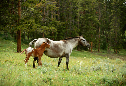 HOR 01 DB0039 01 © Kimball Stock Appaloosa Mare And Foal Walking In Field In Summer