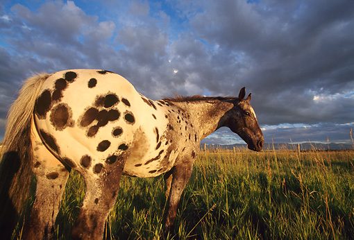 HOR 01 DB0041 01 © Kimball Stock Rear Shot Of Appaloosa Horse Standing In Field