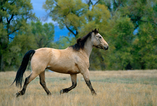 HOR 01 DB0044 01 © Kimball Stock Profile Of Buckskin Horse Trotting In Field With Trees