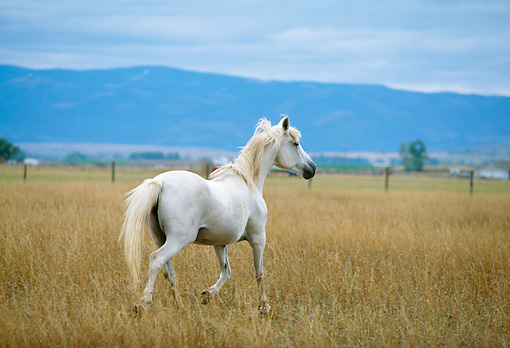 HOR 01 DB0045 01 © Kimball Stock White Horse Trotting In Field With Mountains Cloudy Sky Background