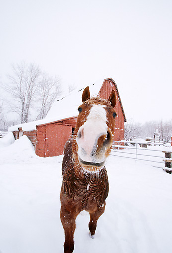 HOR 01 DB0048 01 © Kimball Stock Head On Wide Angle Shot Of Chestnut Horse Standing In Snow Near Barn