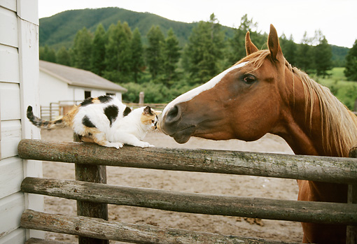 HOR 01 DB0049 01 © Kimball Stock Chestnut Horse And Cat Nose To Nose Along Fence