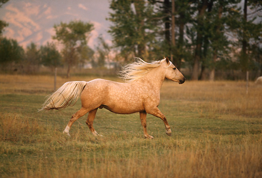 HOR 01 DB0053 01 © Kimball Stock Profile Of Palomino Galloping In Field