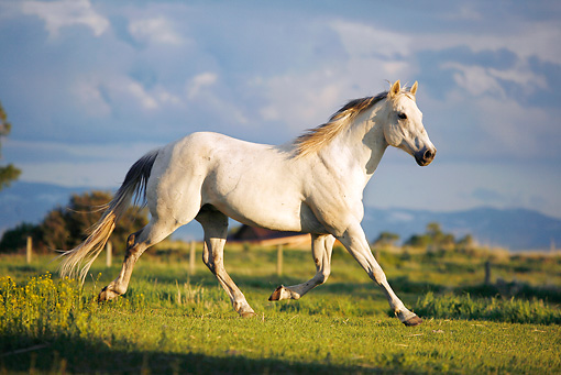 HOR 01 DB0056 01 © Kimball Stock Gray Quarter Horse Trotting In Pasture