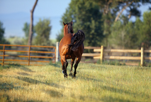 HOR 01 DS0004 01 © Kimball Stock Bay Quarter Horse Cantering Away In Pasture