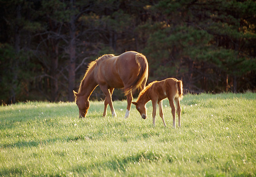 HOR 01 DS0010 01 © Kimball Stock Chestnut Mare And Foal Standing In Pasture Grazing