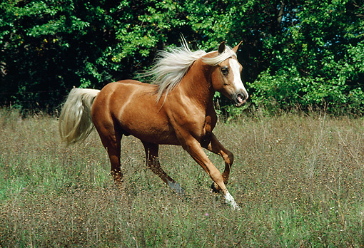 HOR 01 FA0001 01 © Kimball Stock Palomino Horse Cantering In Field By Trees