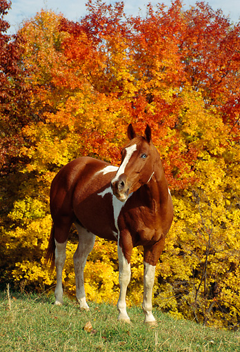 HOR 01 FA0002 01 © Kimball Stock Paint Horse Standing On Grass By Autumn Trees