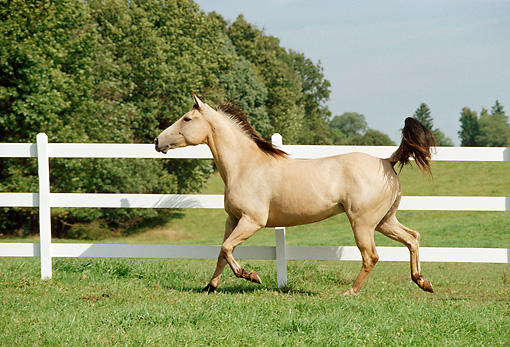 HOR 01 FA0003 01 © Kimball Stock Buckskin Quarter Horse Trotting On Grass By Fence Trees