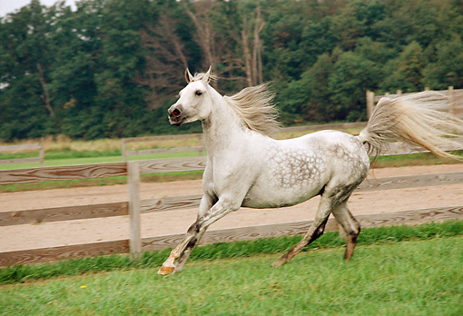 HOR 01 FA0004 01 © Kimball Stock Gray Arabian Horse Cantering On Grass By Fence Dirt Road And Trees
