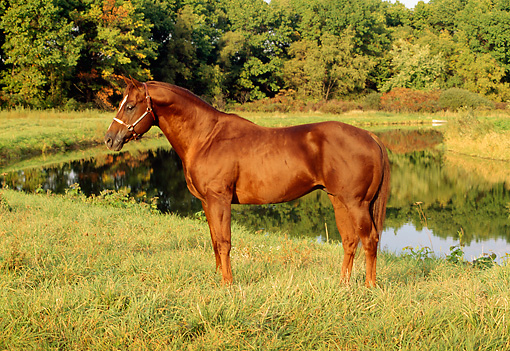 HOR 01 FA0006 01 © Kimball Stock Chsetnut Quarter Horse Stallion Standing On Grass By Pond And Trees