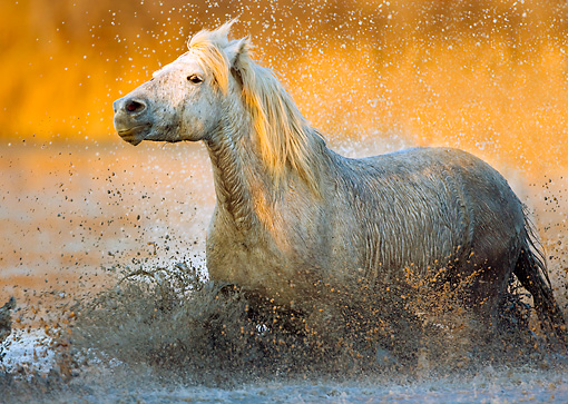 HOR 01 JZ0004 01 © Kimball Stock White Camargue Horse Trotting Through Water Provence France