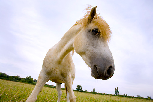 HOR 01 JZ0005 01 © Kimball Stock Close-Up Of White Camargue Horse Standing In Field Wide Angle Provence France