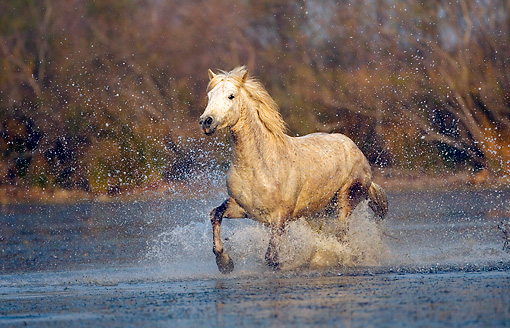 HOR 01 JZ0006 01 © Kimball Stock White Camargue Horse Cantering Through Water Provence France
