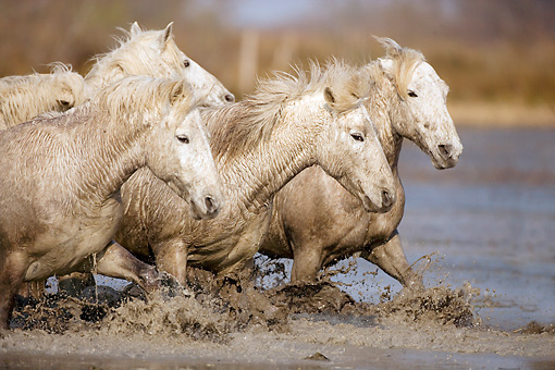 HOR 01 JZ0007 01 © Kimball Stock White Camargue Horses Trotting Through Water Provence France