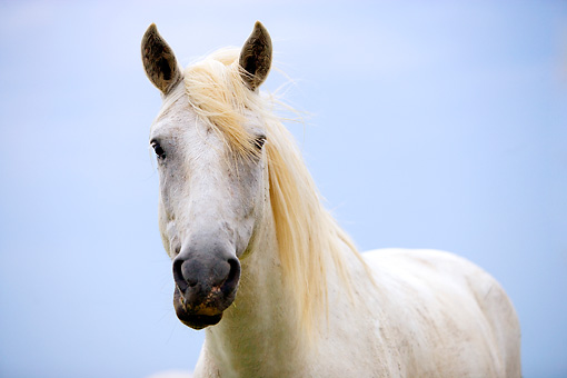 HOR 01 JZ0009 01 © Kimball Stock Close-Up Of White Camargue Horse Standing Provence France