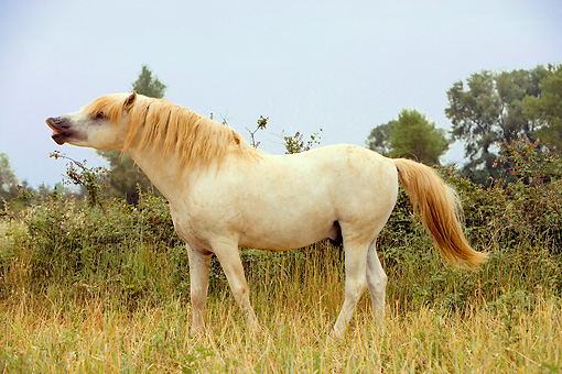 HOR 01 JZ0010 01 © Kimball Stock White Camargue Horse Standing In Field Provence France