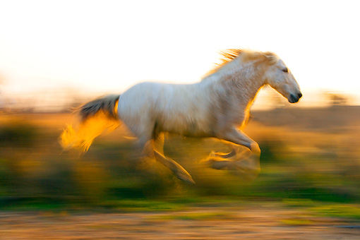 HOR 01 JZ0011 01 © Kimball Stock White Camargue Horse Galloping In Field At Dusk Provence France