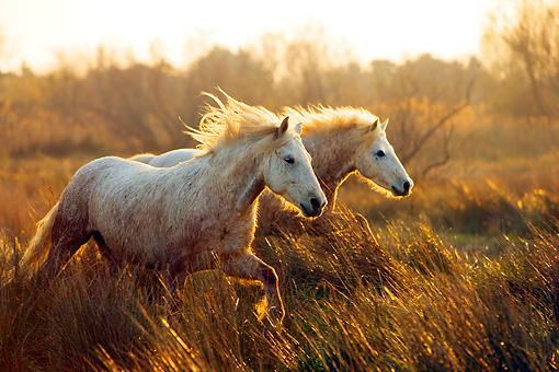HOR 01 JZ0012 01 © Kimball Stock Two White Camargue Horses Galloping In Field At Dusk Provence France