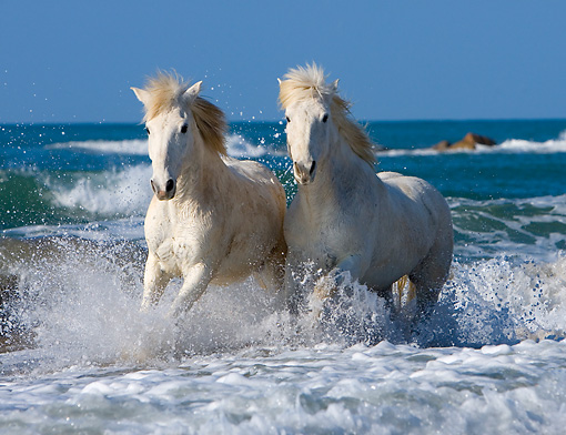 HOR 01 JZ0013 01 © Kimball Stock Two White Camargue Horses Running In Surf On Beach Provence France