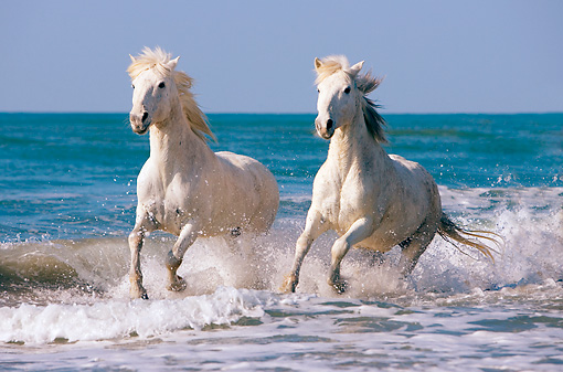 HOR 01 JZ0014 01 © Kimball Stock Two White Camargue Horses Running In Surf On Beach Provence France