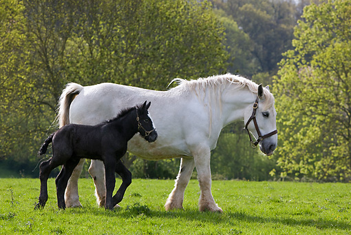 HOR 01 KH0002 01 © Kimball Stock Percheron Mare And Foal Walking In Field