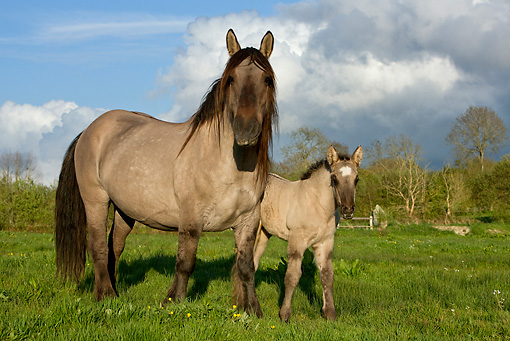 HOR 01 KH0004 01 © Kimball Stock Mulassier Mare And Foal Standing In Field