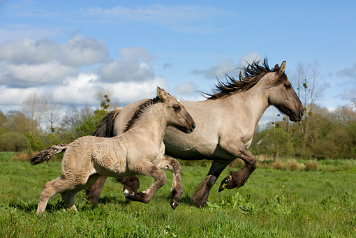HOR 01 KH0005 01 © Kimball Stock Mulassier Mare And Foal Running In Field