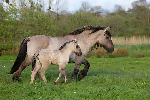 HOR 01 KH0006 01 © Kimball Stock Mulassier Mare And Foal Trotting In Field