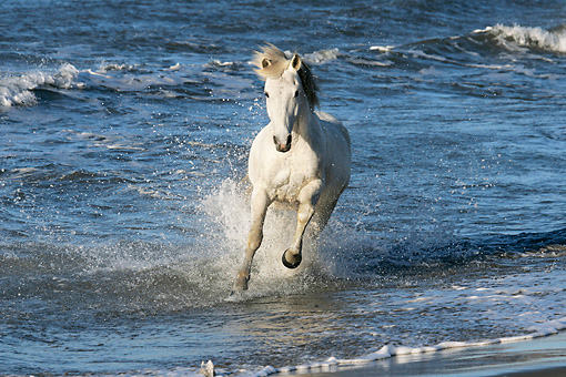 HOR 01 KH0008 01 © Kimball Stock Camargue Horse Cantering In Surf On Beach