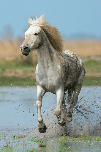 HOR 01 KH0009 01 © Kimball Stock Camargue Horse Cantering In Water