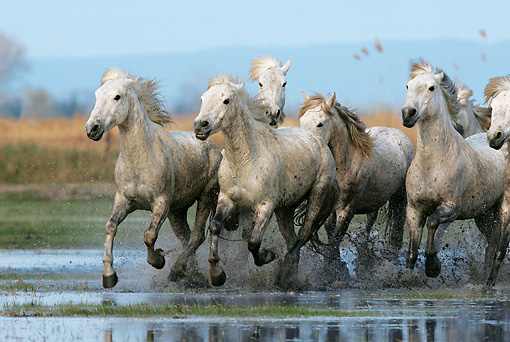 HOR 01 KH0010 01 © Kimball Stock Herd Of Camargue Horses Cantering In Water