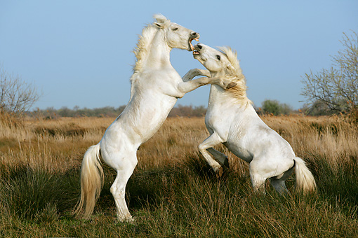 HOR 01 KH0014 01 © Kimball Stock Two Camargue Horses Fighting In Field