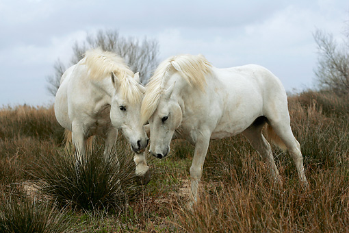 HOR 01 KH0016 01 © Kimball Stock Two Camargue Horses Playing In Field