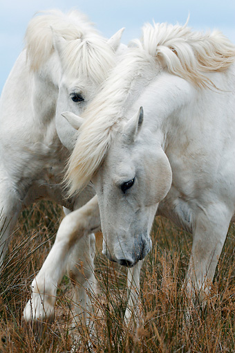 HOR 01 KH0017 01 © Kimball Stock Close-Up Of Two Camargue Horses Playing In Field