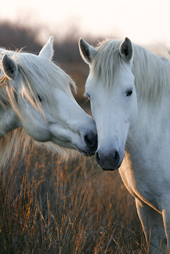 HOR 01 KH0018 01 © Kimball Stock Close-Up Of Two Camargue Horses Nuzzling In Field