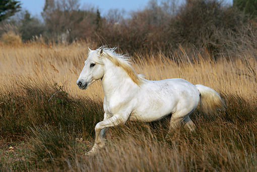 HOR 01 KH0021 01 © Kimball Stock Camargue Horse Cantering In Field