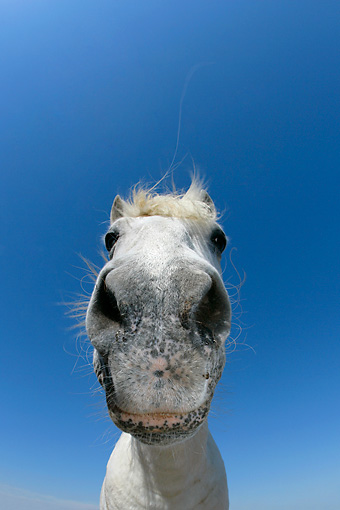 HOR 01 KH0024 01 © Kimball Stock Close-Up Of Camargue Horse's Nose