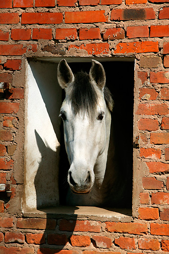 HOR 01 KH0032 01 © Kimball Stock Head Shot Of Andalusian Looking Out Window