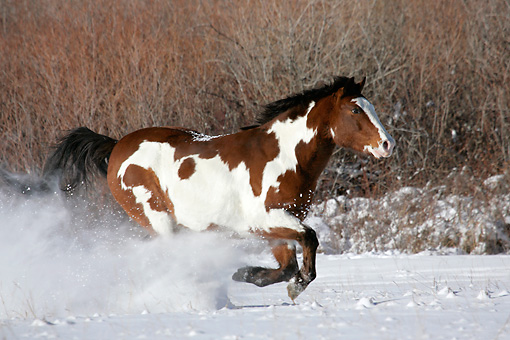 HOR 01 KH0034 01 © Kimball Stock Bay Paint Horse Galloping In Snow