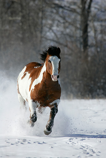 HOR 01 KH0035 01 © Kimball Stock Bay Paint Horse Galloping In Snow