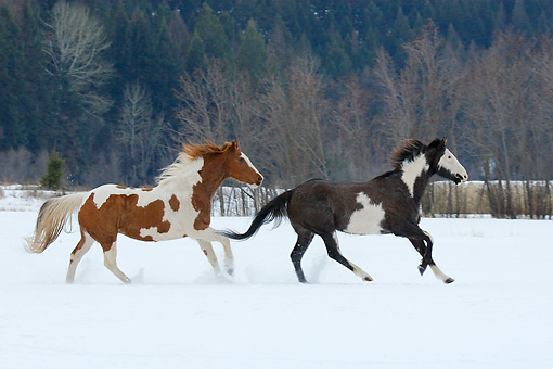 HOR 01 KH0036 01 © Kimball Stock Two Paint Horses Cantering In Snow